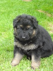 Black And Tan German Shepherd Dog Puppies For Sale.