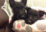 U K C Register Pure Black Scottish Terrier Puppies For Sale.
