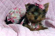 100% PURE YORKIE PUPPIES FOR GOOD HOMES.