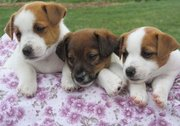 Jack Russell Terrier Puppies For Sale.