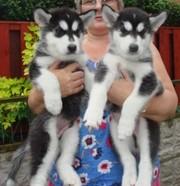 3Rd Third Generation Alaskan Malamute Puppies.