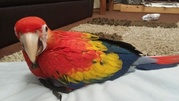 Very Healthy, Superb-Tamed Hand Reared And Tame Scarlet Macaw Parrots.