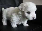 Nice Looking Pure White Maltese Puppies Looking For Their New Home.