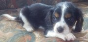 Blenheim DNA Tested, Cavalier King Charles Spaniel Puppies.
