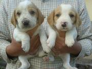 Beautiful litter of Beagle puppies for sale.