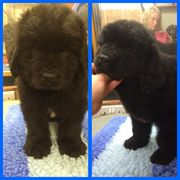 Beautiful Chunky Newfoundland Puppies For Sale.